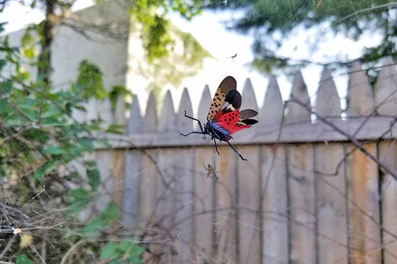 A close up of a spotted lanternfly caught in a spider's web. The tan, black and red wings show the spots clearly, and the body is dark with long legs. In the background is soft focus wooden fence, and a bush to the left of the frame.
