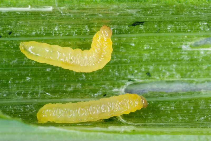 Macro shot of two Caterpillars of leek moth or onion leaf miner Acrolepiopsis assectella on an onion stalk.