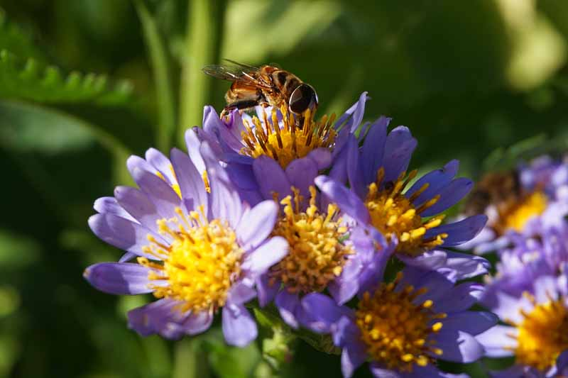 Near macro shot of a hoverfly on a Tatarian aster.