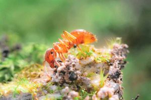How to Control Citronella Ants