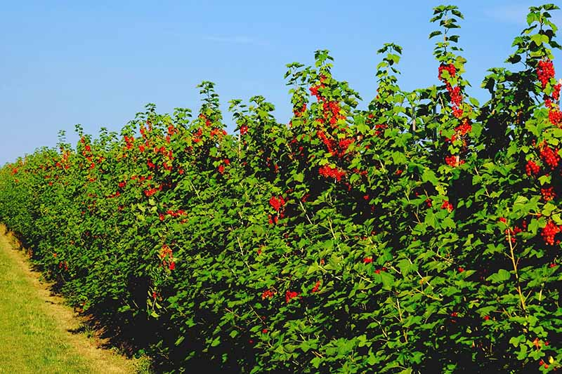 A hedge of red currant bushes, with ripe red berries, contrasting with the bright green leaves, with a grass verge along the bottom. The background is blue sky on a bright sunny day.
