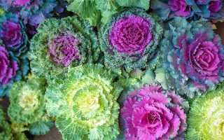 A close up, top down image of ornamental Brassica oleracea, some with vibrant purple leaves, with green edging, others with yellow and green patterns. The center of the plants looks more like a flower than a vegetable.