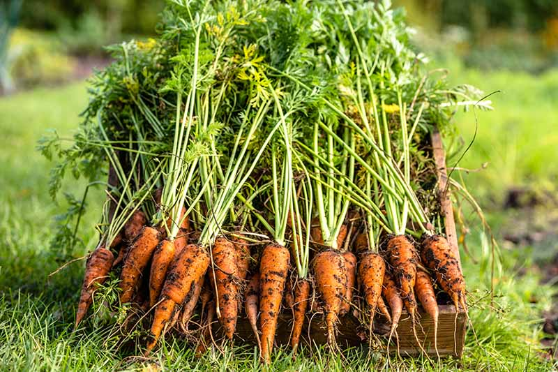 A close up of freshly harvested carrots, with their green tops still on, in a wooden box, with soft focus grass in the background, in light sunshine.