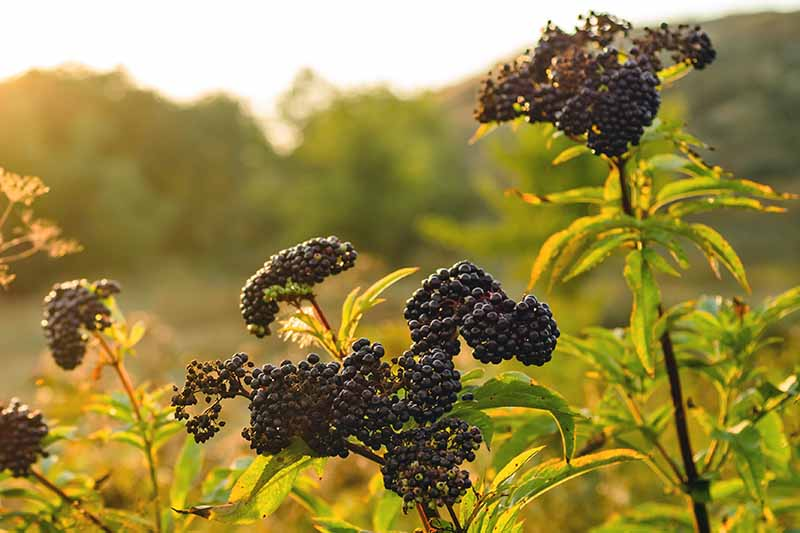 Ripe clusters of black elderberries pictured on the shrub in the late afternoon sunshine. Soft focus landscape behind, and leaf detail in the foreground.