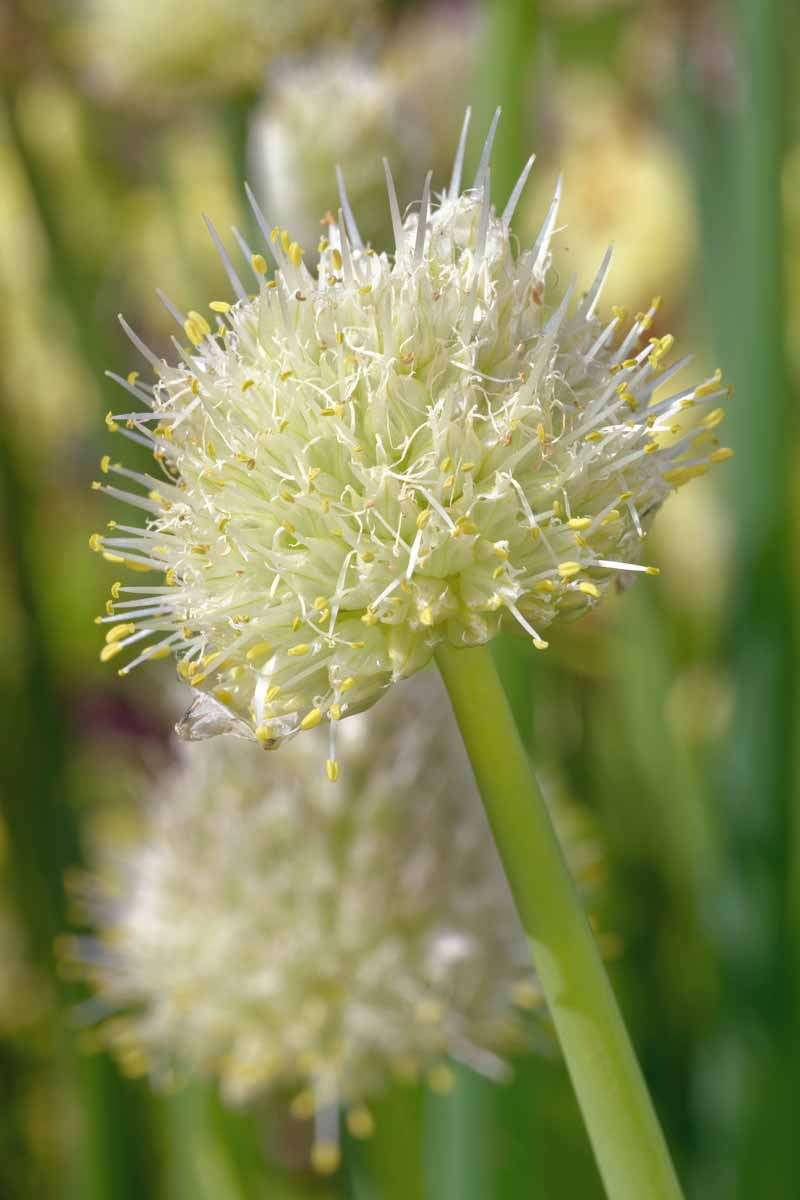 Close up of a the flowering head of a Welsh bunching onion.