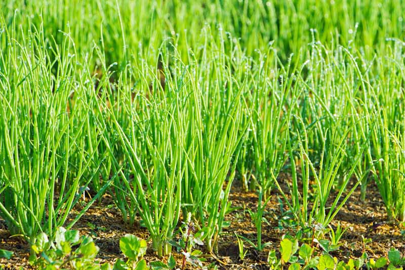 A mass of green bunching (aka Japanese, Welsh, spring) onions growing in a vegetable patch.