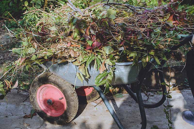 A gray wheelbarrow with a red wheel, piled high with branches, leaves and other garden waste, on a concrete surface in dappled autumn sunshine.