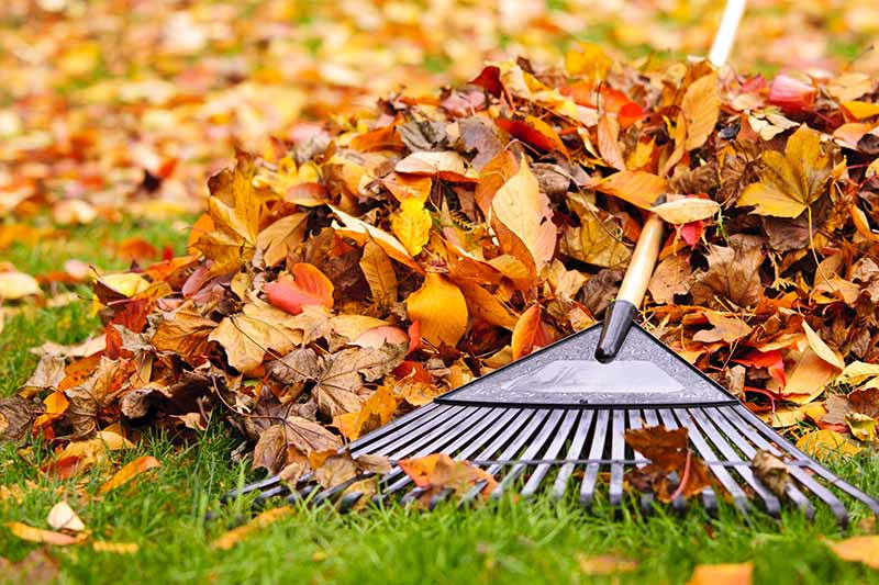 Close up of a rake, with a wooden handle, and autumn leaves raked into a pile, with grass and soft focus leaf fall in the background.