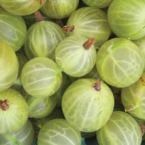 A close-up square image of harvested gooseberries, the 'Pixwell' variety, showing circular fruits of various sizes, with their white veins showing through the almost translucent yellowish-green skin.