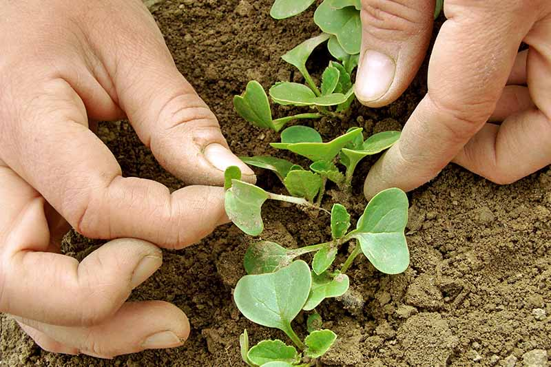 Close up of two hands gently dividing seedlings in the soil.