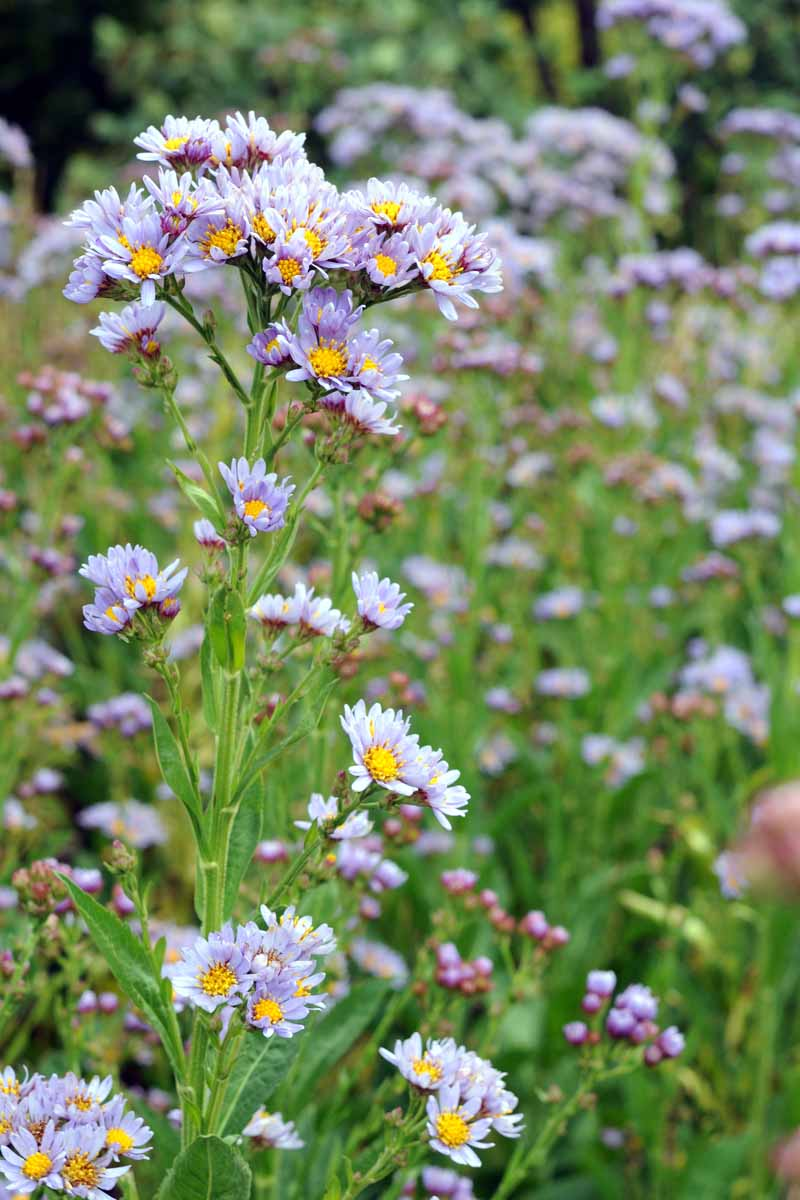 Tatarian aster growing in field with purple blooms.