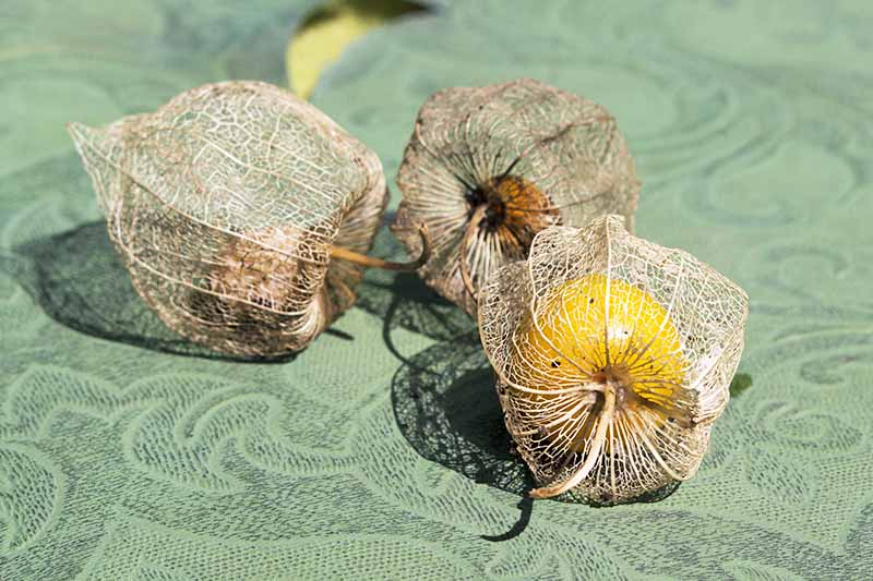Three harvested ground cherries, their husks dry and almost transparent, on a green background.