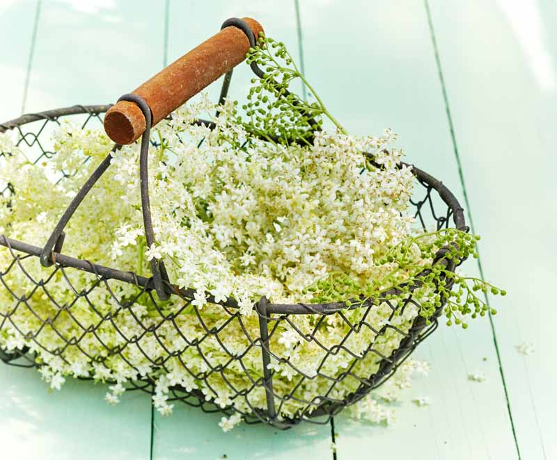 Freshly harvested elderflowers in a metal mesh basket.