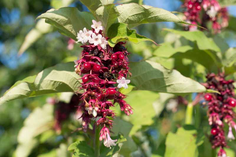 Himalayan honeysuckle (Leycesteria formosa) with dark maroon berries.