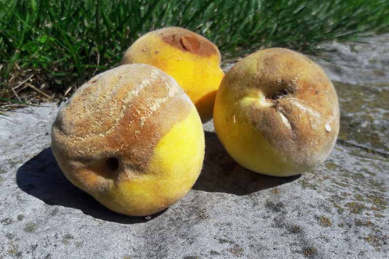 Close up of three yellow peaches showing signs of rhizopus rot.