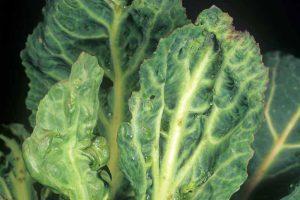 How to Control Turnip Mosaic Virus