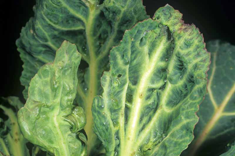 Close up of cabbage leaves infected with the Turnip Mosaic Virus.