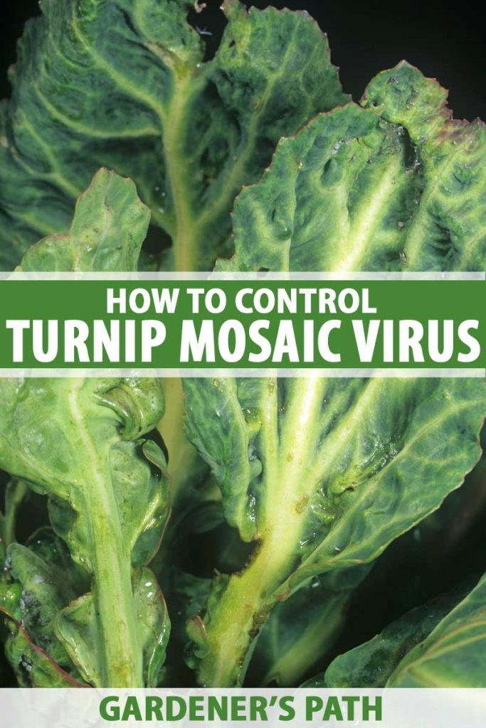 Cabbage leaves infected by turnip mosaic virus.