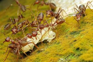 Controlling the Invasive Pharaoh Ant