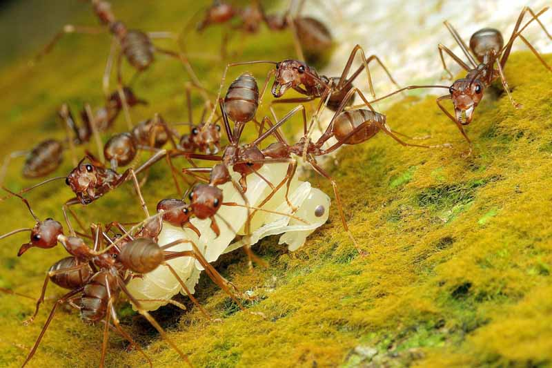 Macro shot of pharaoh ants collecting food.