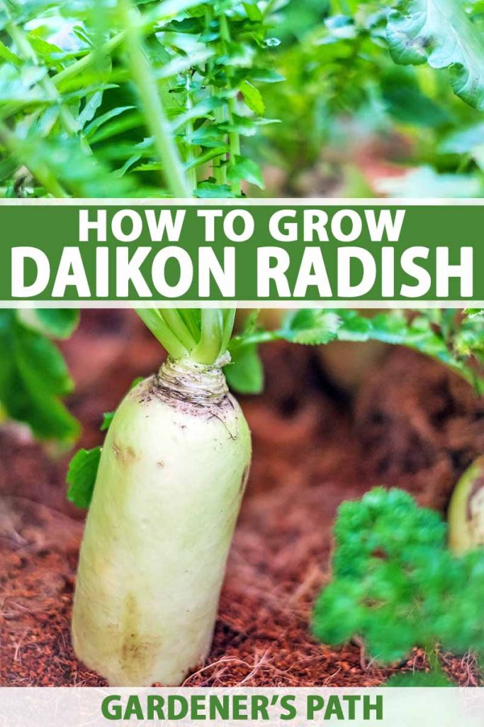Daikon radish, still in the soil, with leaf tops in soft focus. Green and white text to the middle and bottom of the frame.