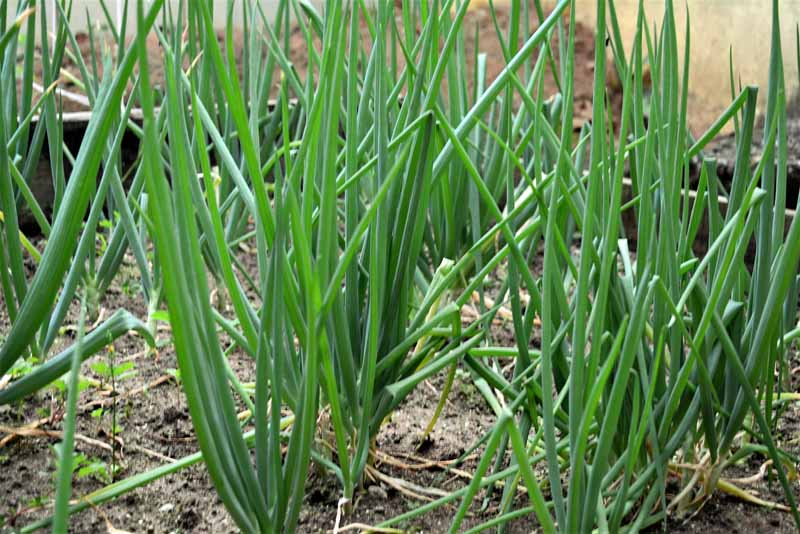 Welsh bunching onions growing in a vegetable garden.
