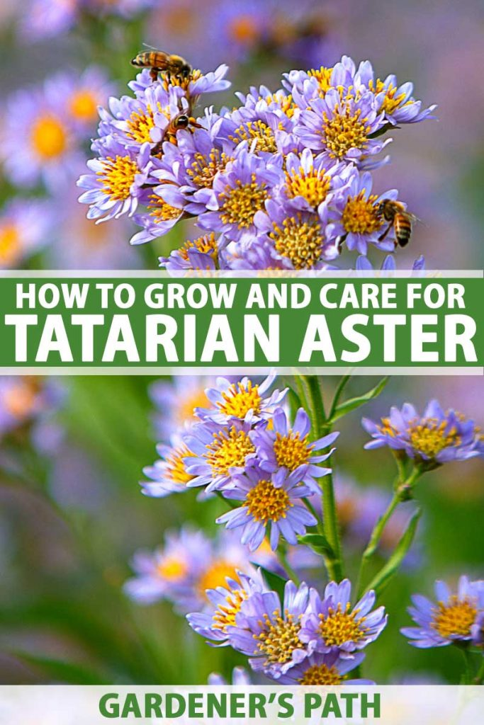 Close up of lavender colored tatarian aster in bloom.