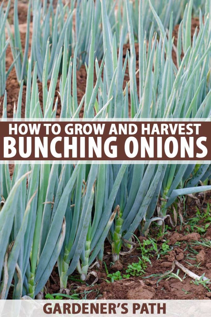Green bunching onions growing in a vegetable garden.
