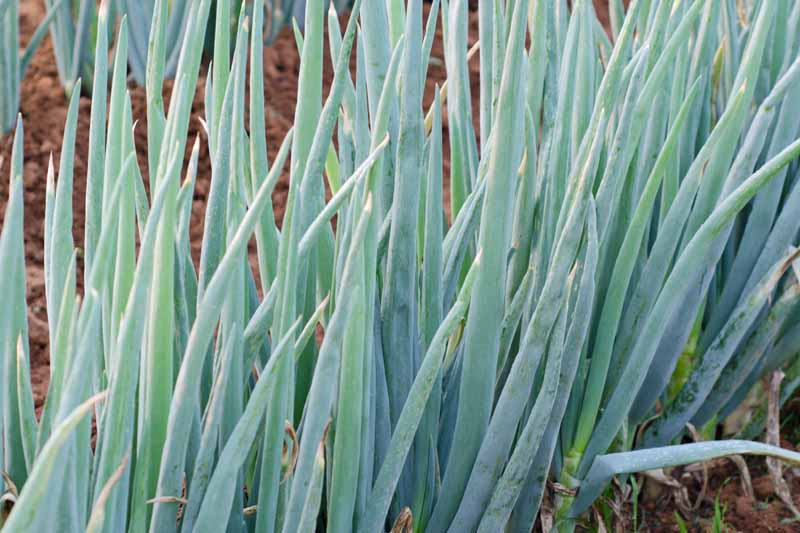 Close up of green bunching onions growing in a home veggie garden.