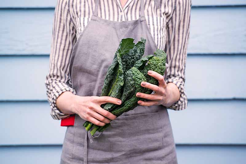 The torso of a woman dressed in a gray and white shirt, with a gray apron over it, holding a bunch of dark green, freshly harvested kale. The background is soft focus light blue weatherboards.