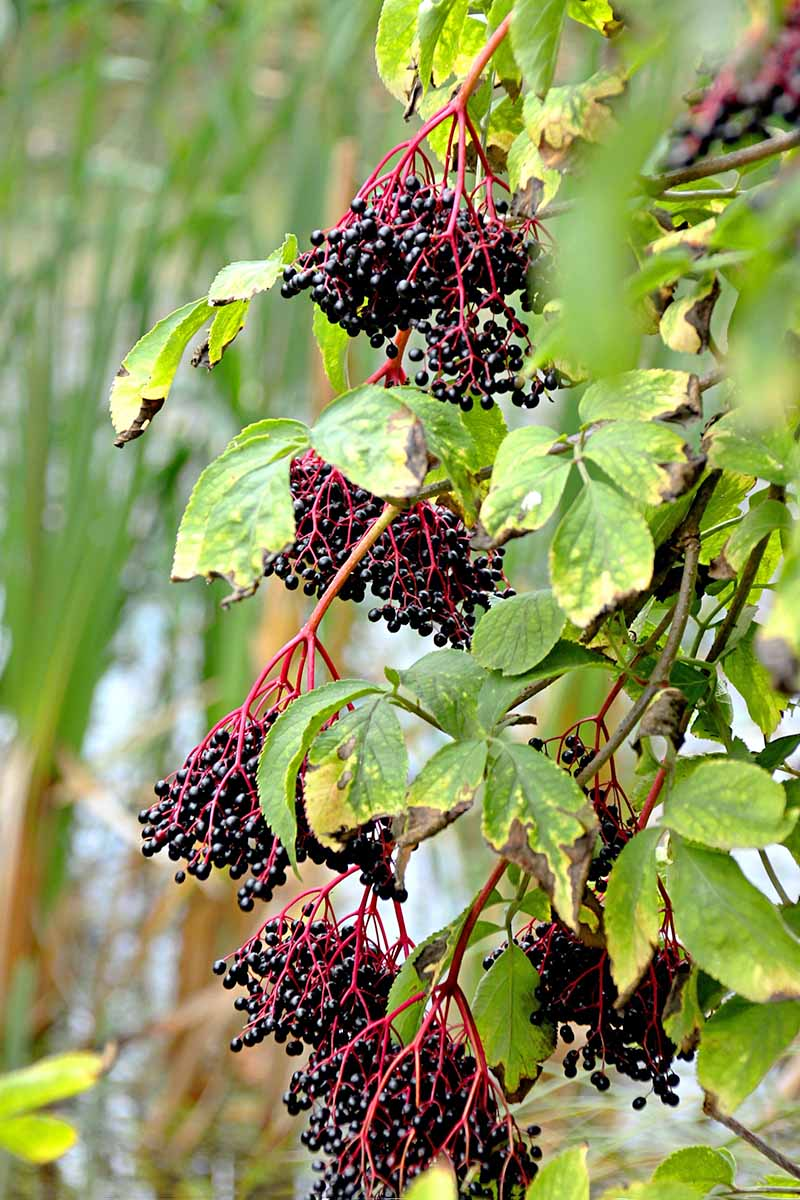 Vertical image of ripe elderberry fruit hanging from the shrub, with leaf detail. On a soft focus background of green vegetation.