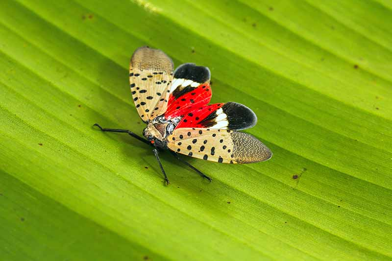 Close up of a spotted lanternfly with wings spread. The inner wings are red with black spots, with black and white tips. The outer wings are a tan color, with black spots close to the body. Background is a green leaf.