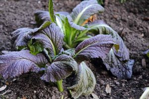 How to Keep Kale from Wilting in the Garden