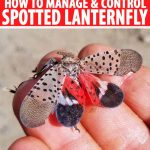 Close up of four fingers holding a spotted lanternfly with it's wings spread. The distinctive spots can be seen on the wings, and on the red and black inner wings. Red and white text in a banner at the top and bottom of the frame.
