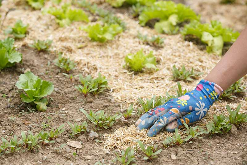 A gloved hand from the right of the frame is shown spreading finely chopped straw around seedlings. A soft focus background of lettuce seedlings neatly surrounded by straw.
