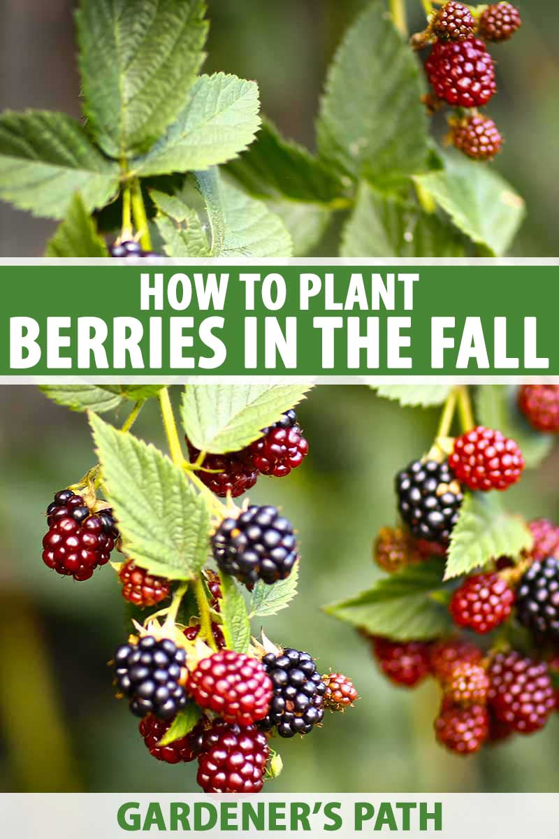Fall Berry Planting