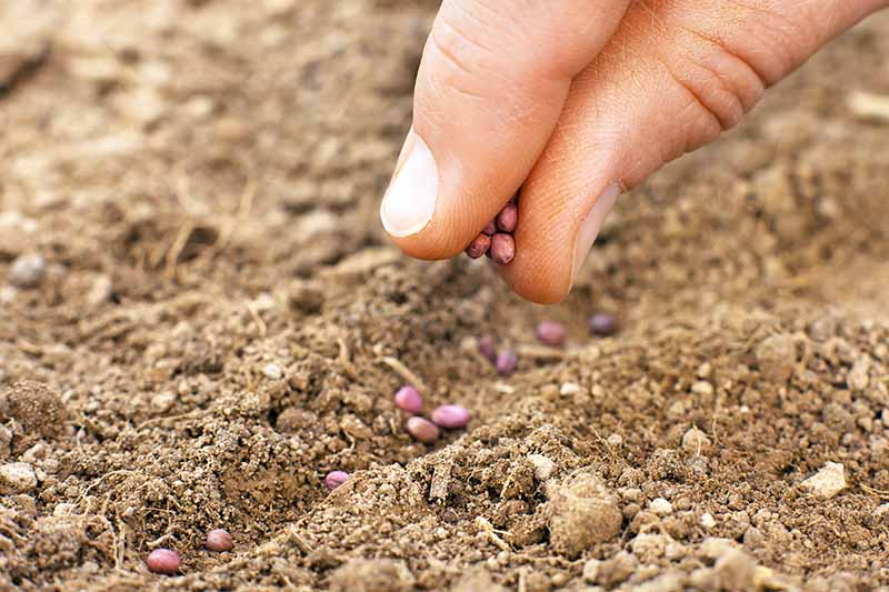 Close up of fingers placing daikon seeds into a shallow hollow in the soil.
