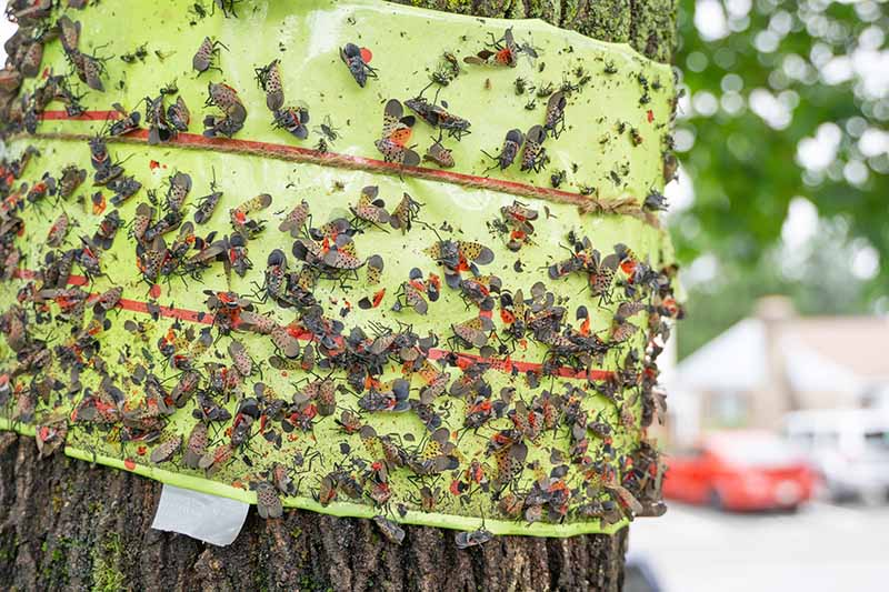 A band of green sticky tape, attached around a tree trunk, with hundreds of spotted lanternflies caught on it. The bark is visible either side of the tape, and there are leaves and cars in soft focus behind.