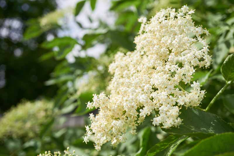 White elderflowers in bloom on an elderberry shrub.