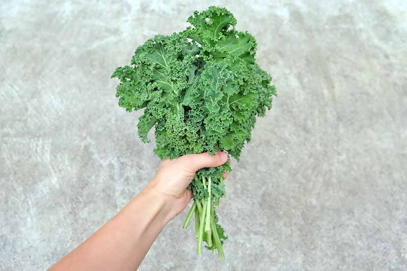 A hand, from the bottom of the frame, grasping a bunch of freshly harvested kale. The bright green curly foliage contrasts with the textured, stone-colored background.