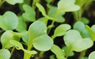 A close up of little green kale seedlings, with beads of water on some of the leaves, the background is more of these seedlings, and the dark earth underneath them in soft focus.