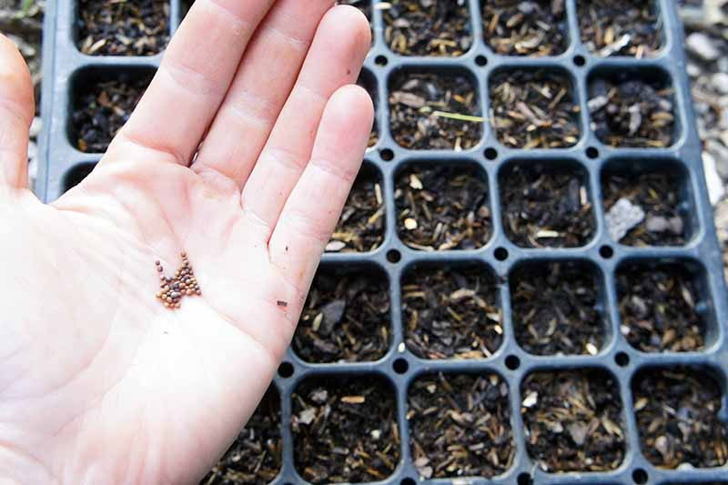 A hand on the left side of the frame holding tiny seeds of Brassica oleracea ready for planting. In the background is a seed starter tray with potting mix in each section.