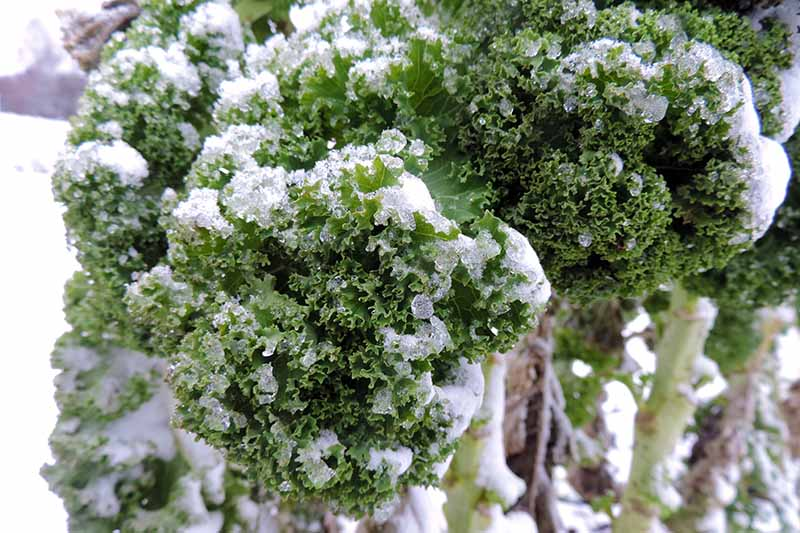 A close up of green curly kale leaves, covered in light frost, with snow in the background.