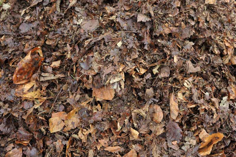 Top down view of partially composted autumn leaves used as mulch.