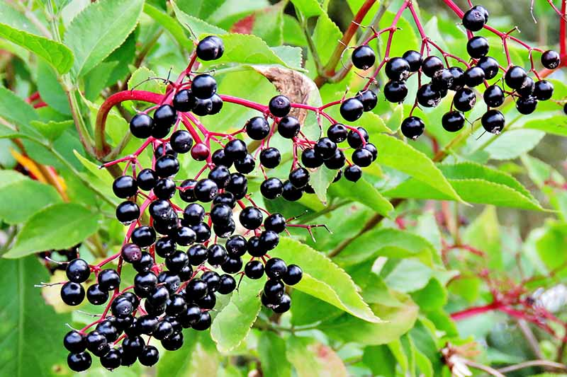 Close up of ripe, deep purple elderberries on pink stems with a background of bright green leaves, some in soft focus.