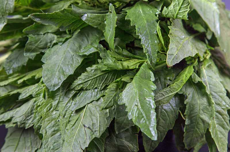 A bunch of leaves of the Mexican and Central American herb epazote.