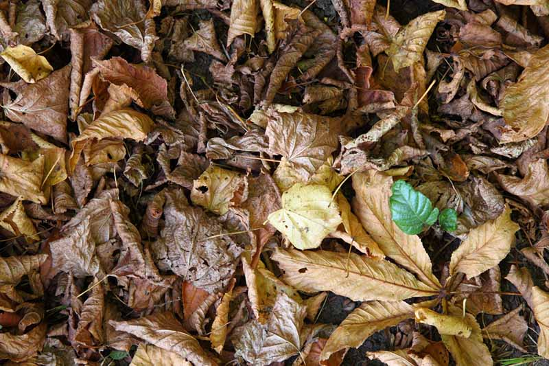 A close up of brown and yellow fallen leaves, ready for composting.