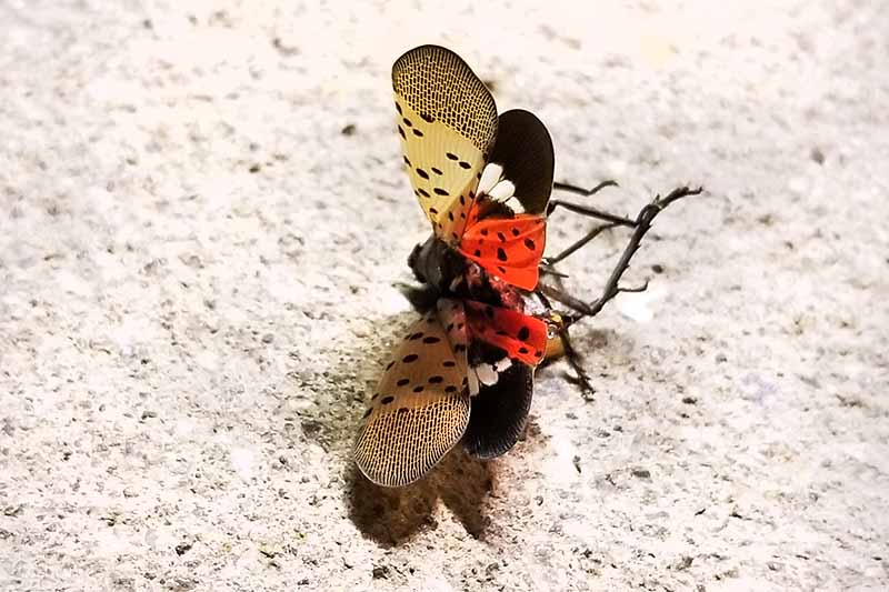 Close up of a spotted lanternfly on a concrete surface. The wings are spread, showing the black spots on the tan outer wings, and the distinctive red and black inner wings.