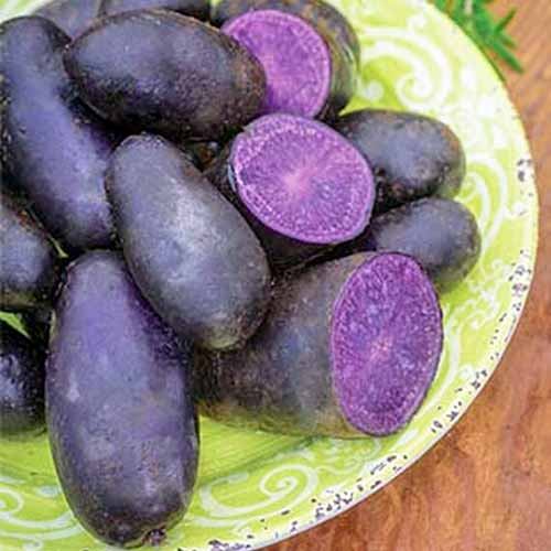 Deep purple colored, 'Magic Molly' potatoes, some cut in half, showing purple flesh, on a lime green patterned plate, on a wooden surface.