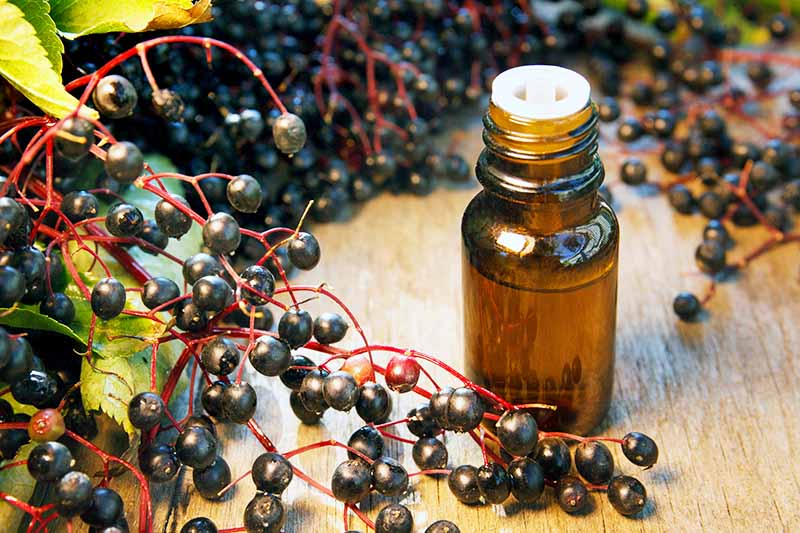Fresh ripe elderberries on the stems, in the foreground and soft focus background. With a small bottle of elderberry tincture on wooden counter.